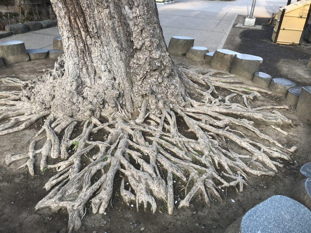 浅草寺境内のイチョウのねっこ