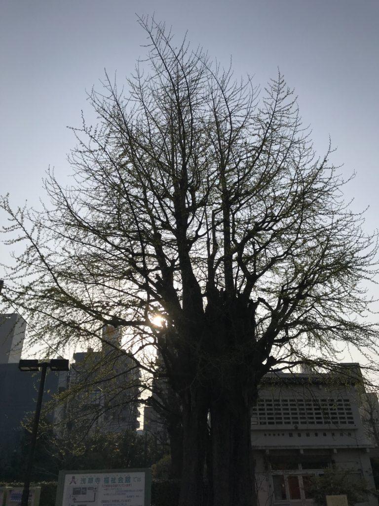 樹齢何百年だろうか・・・戦災木でもあり枯れたかのような古木なのに今年も新芽をこれでもかと吹いていた。