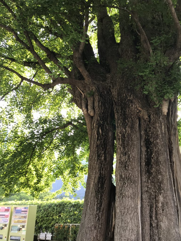 戦績樹のいちょう