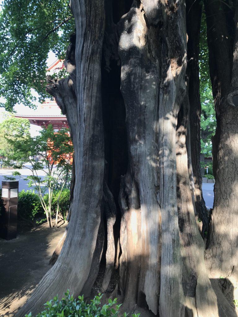 中は空洞のイチョウの木